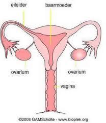 eierstoktransplantatie