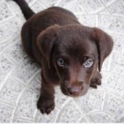 chocoladebruine labrador